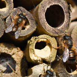 - Hotel à insectes, abeilles solitaires et osmies